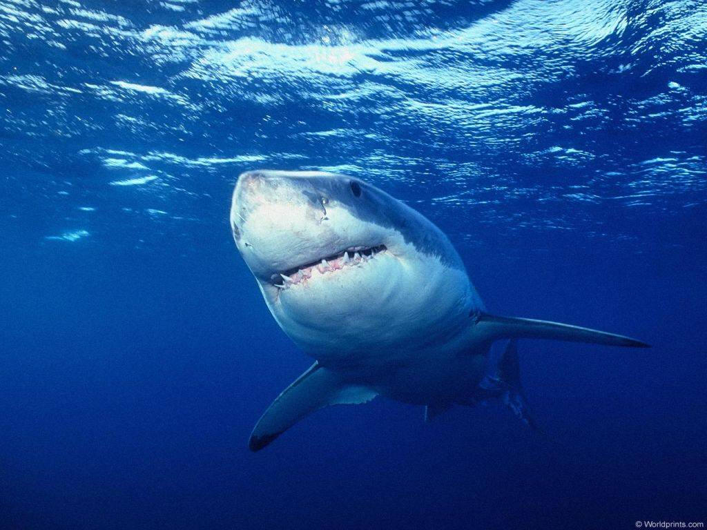 Shark Fishing Wallpapers For Iphone Sharks Iphone Wallpapers 1024x768