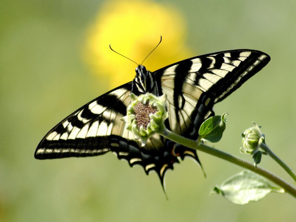 live butterfly wallpaper   beautiful desktop wallpapers 2014 1024x768