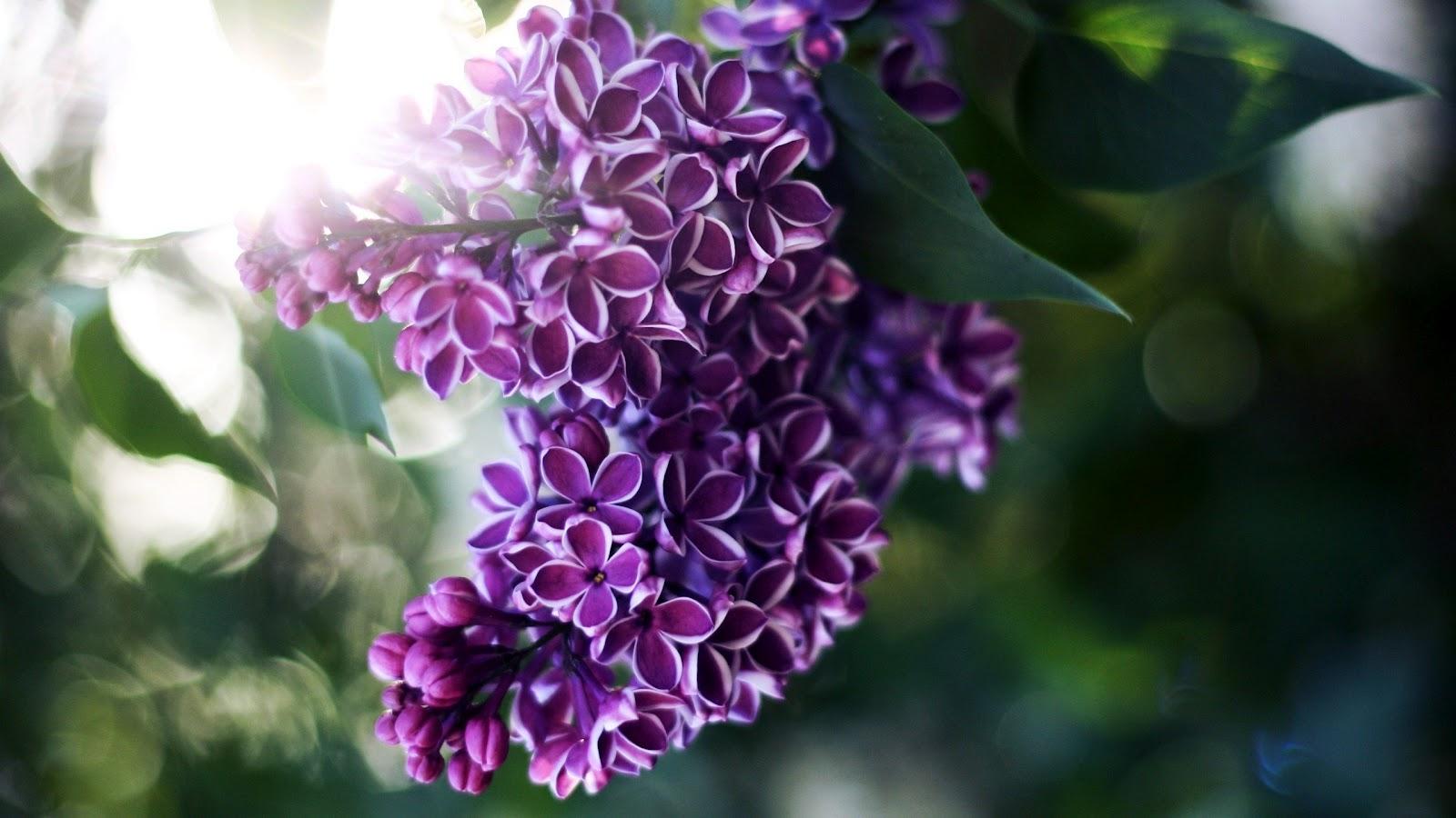 lilac flowers Desktop Wallpaper FULL HD High Definition Wallpapers 1600x900