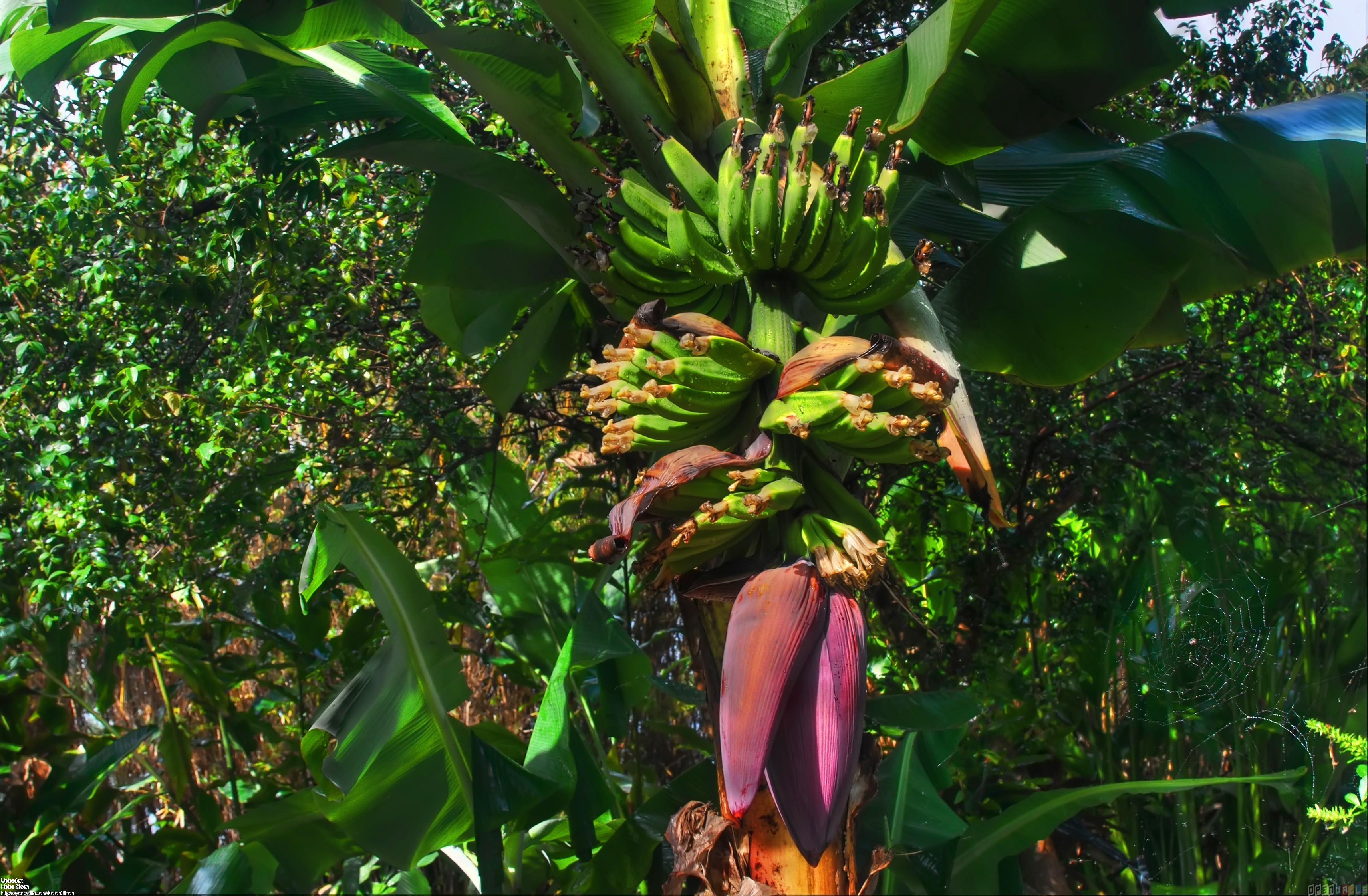 Banana tree wallpaper 22723   Open Walls 3425x2244
