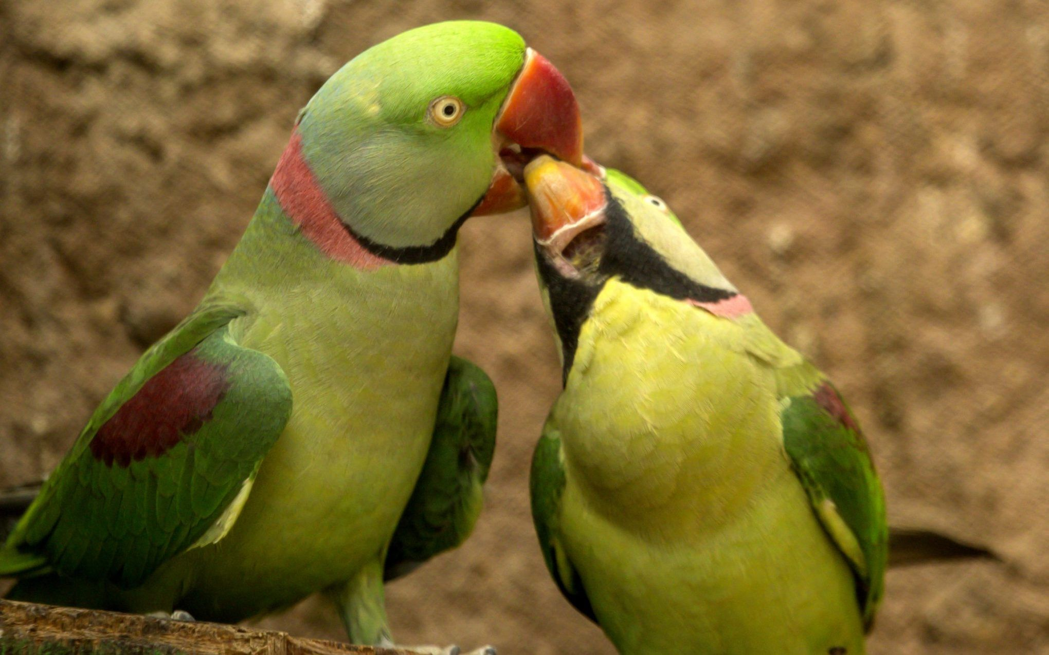Parrot Love Couple Wallpaper HD Indian Stock Images Digital 2040x1275