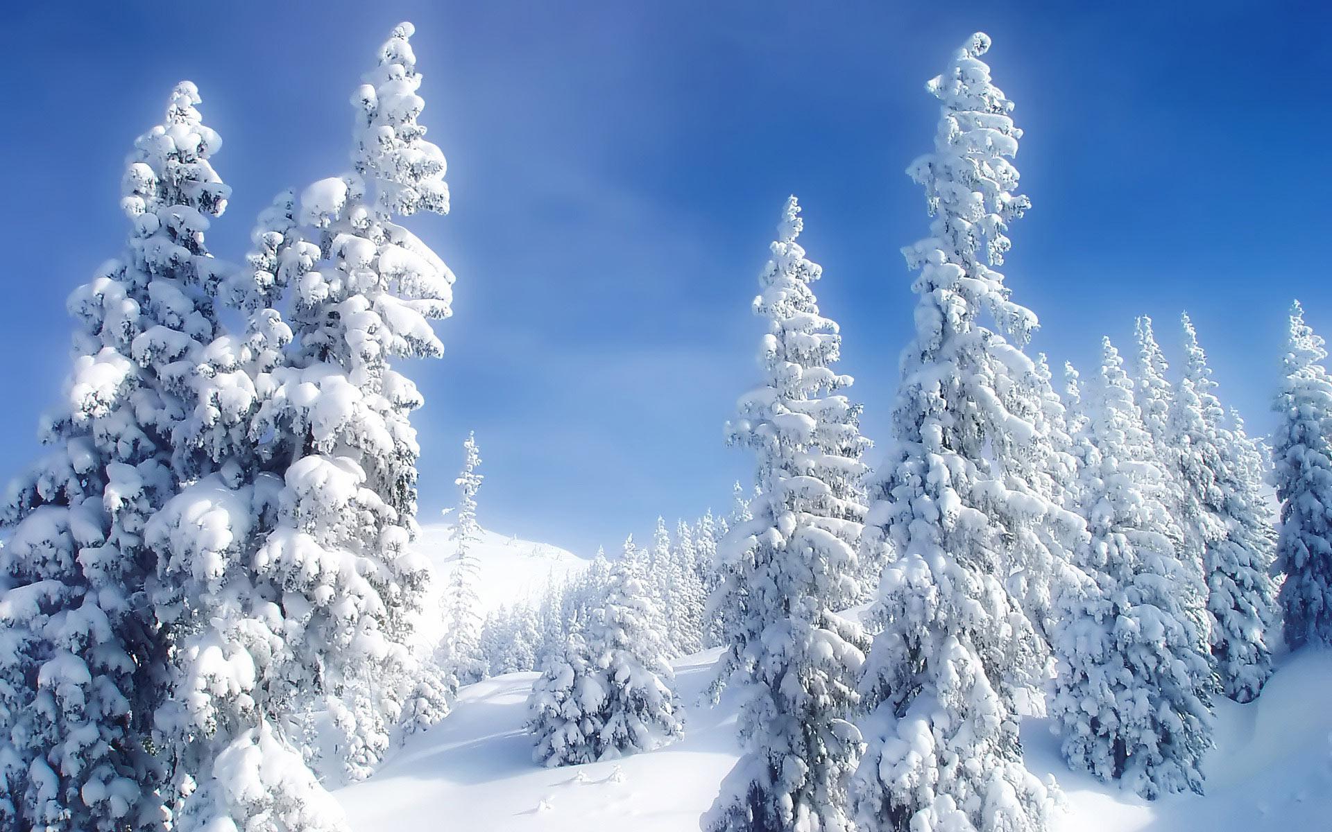 Snowy fir trees wallpaper 1137 1920x1200