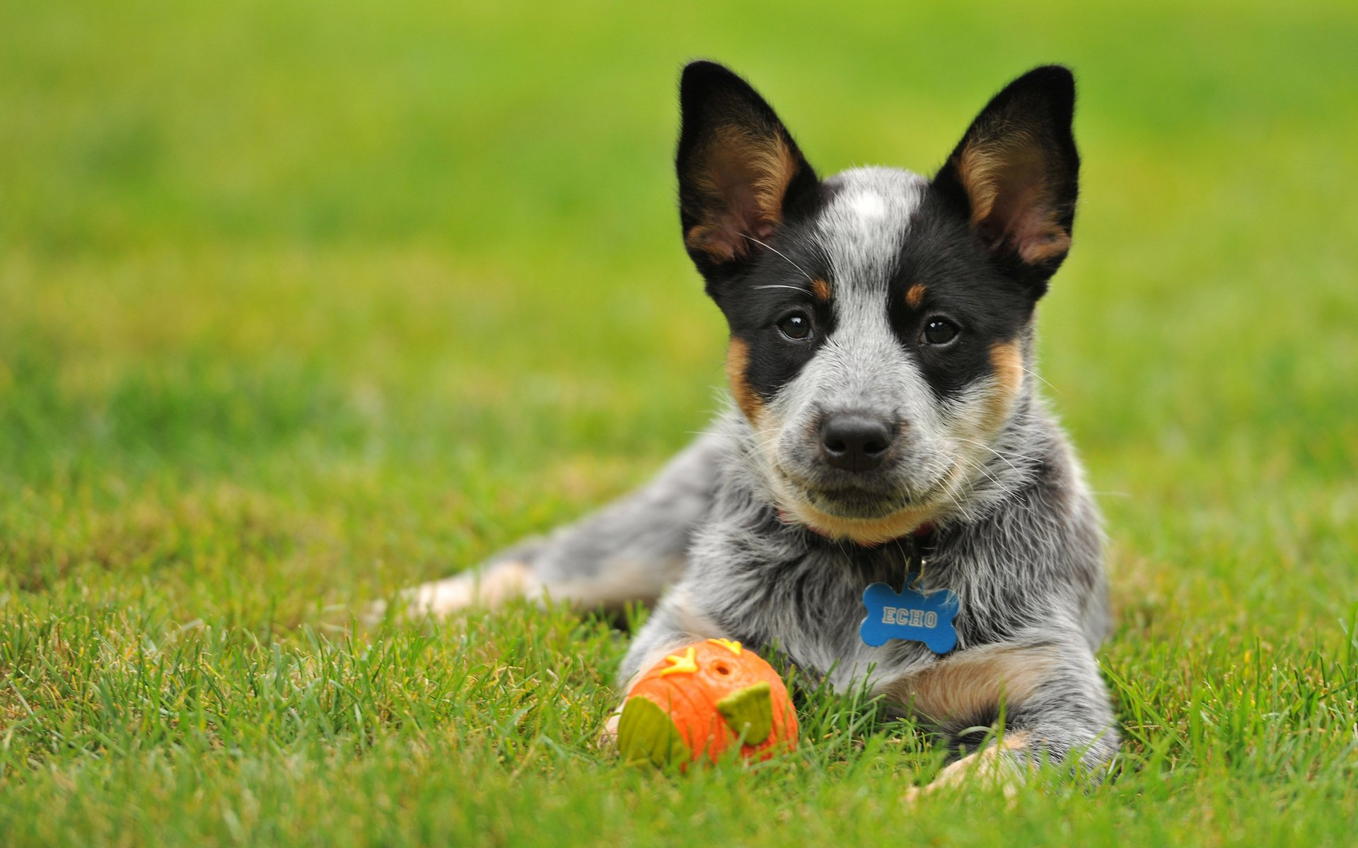 BEAUTIFUL BLUE HEELER PUP HD Wallpaper Background Image 1920x1200