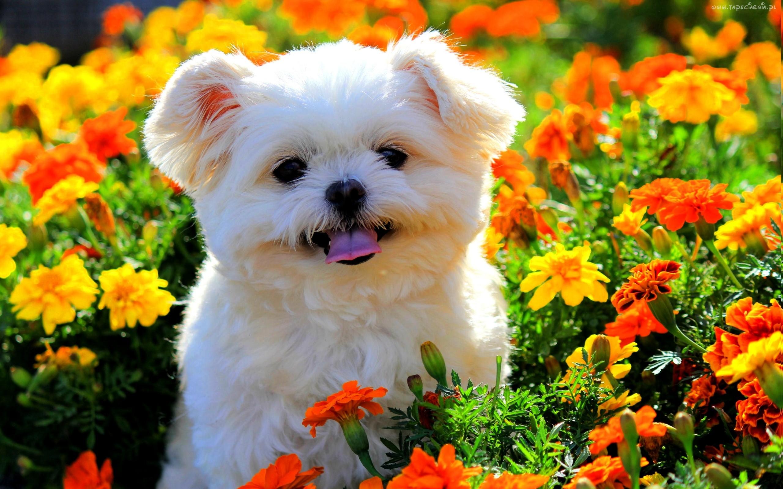 Click to enlarge image 167264 bialy piesek kolorowe kwiatkijpg 2560x1600