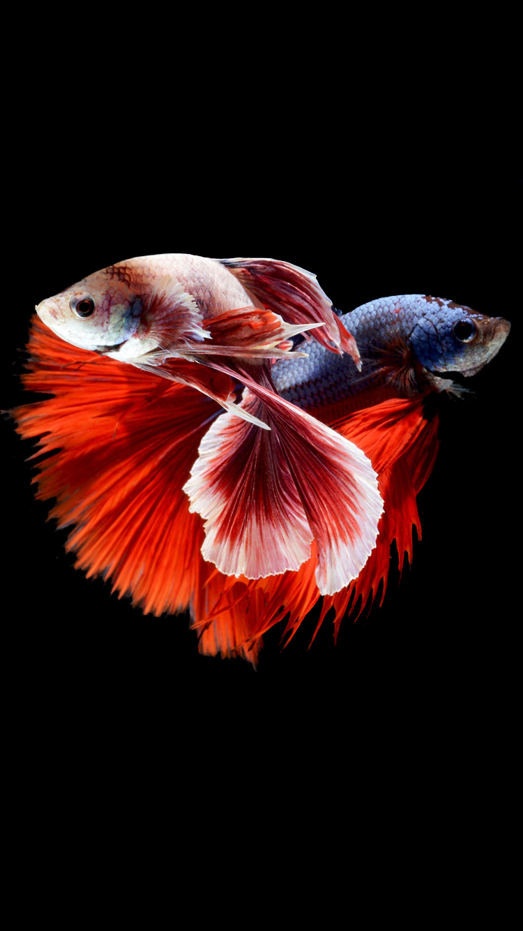 IPhone 6s Wallpaper With Two Betta Fishes Fighting In Dark Background 750x1334