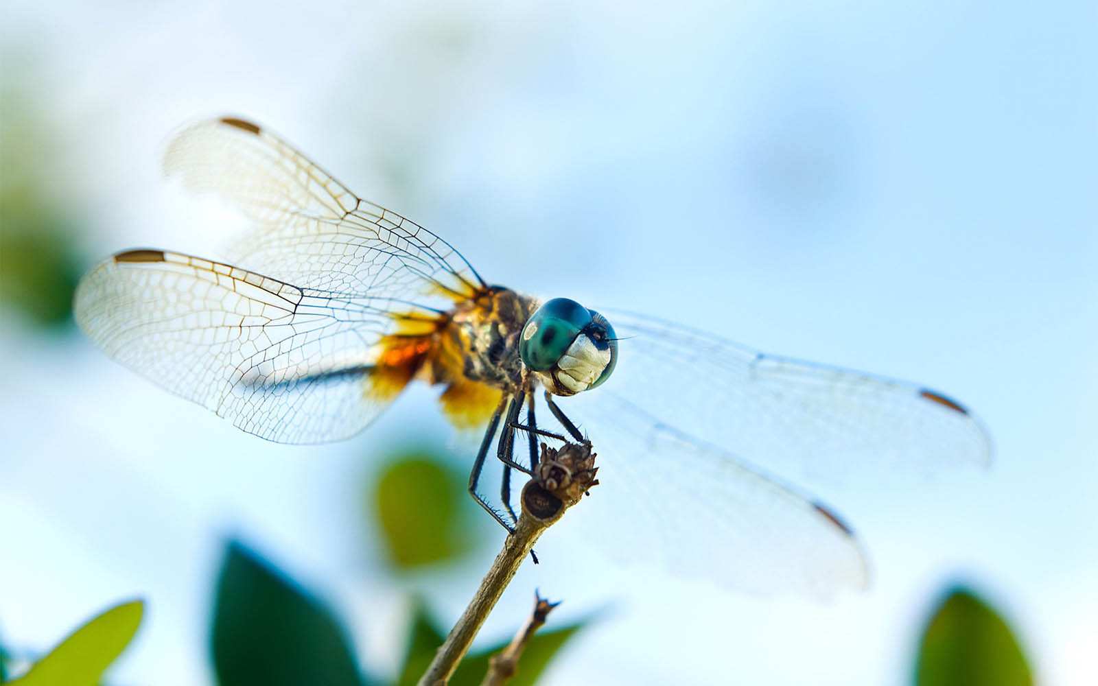wallpapers Dragonfly Wallpapers 1600x1000