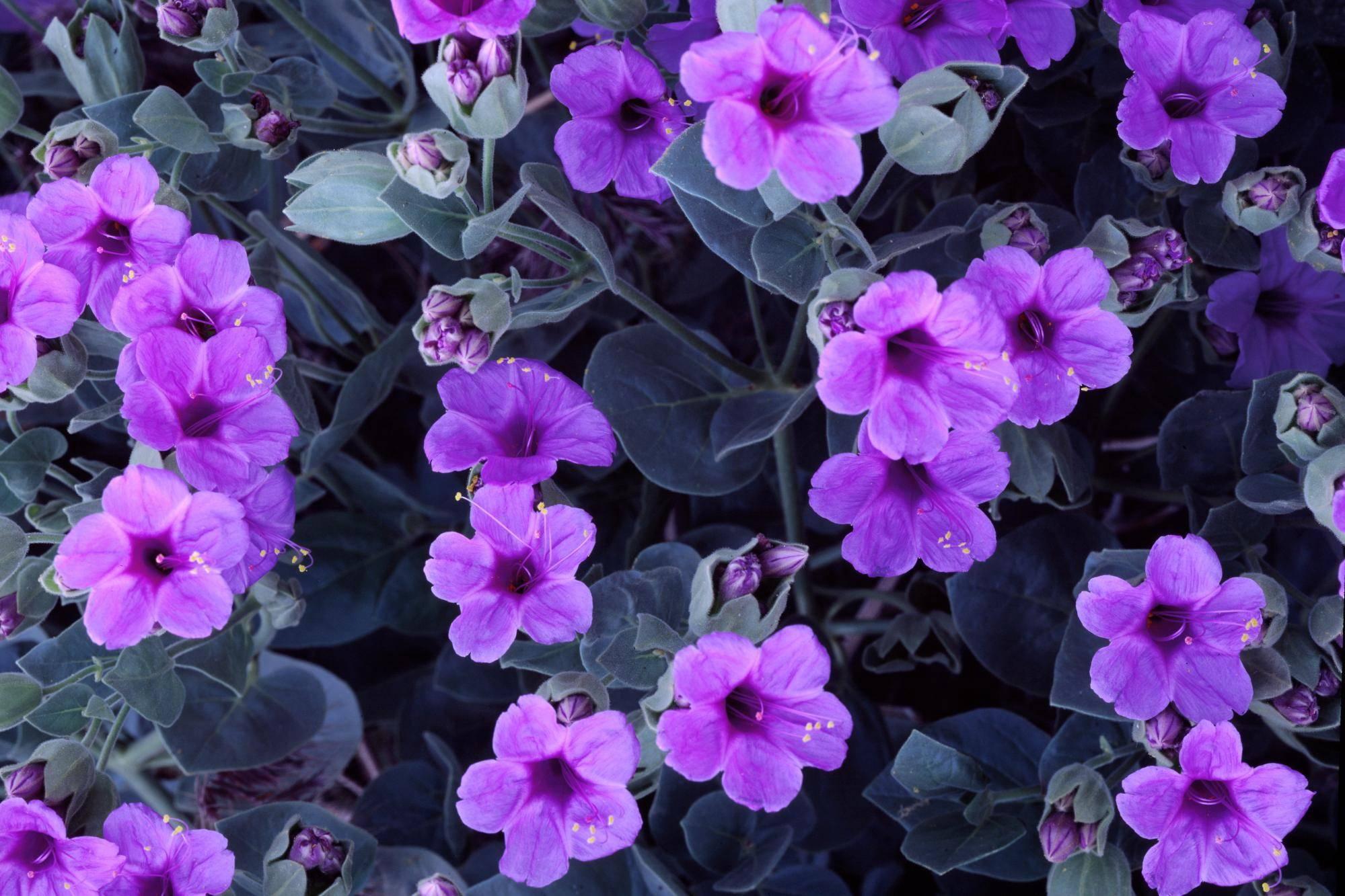 purple cute flowers wallpaper   pink and purple Wallpaper 1999x1333
