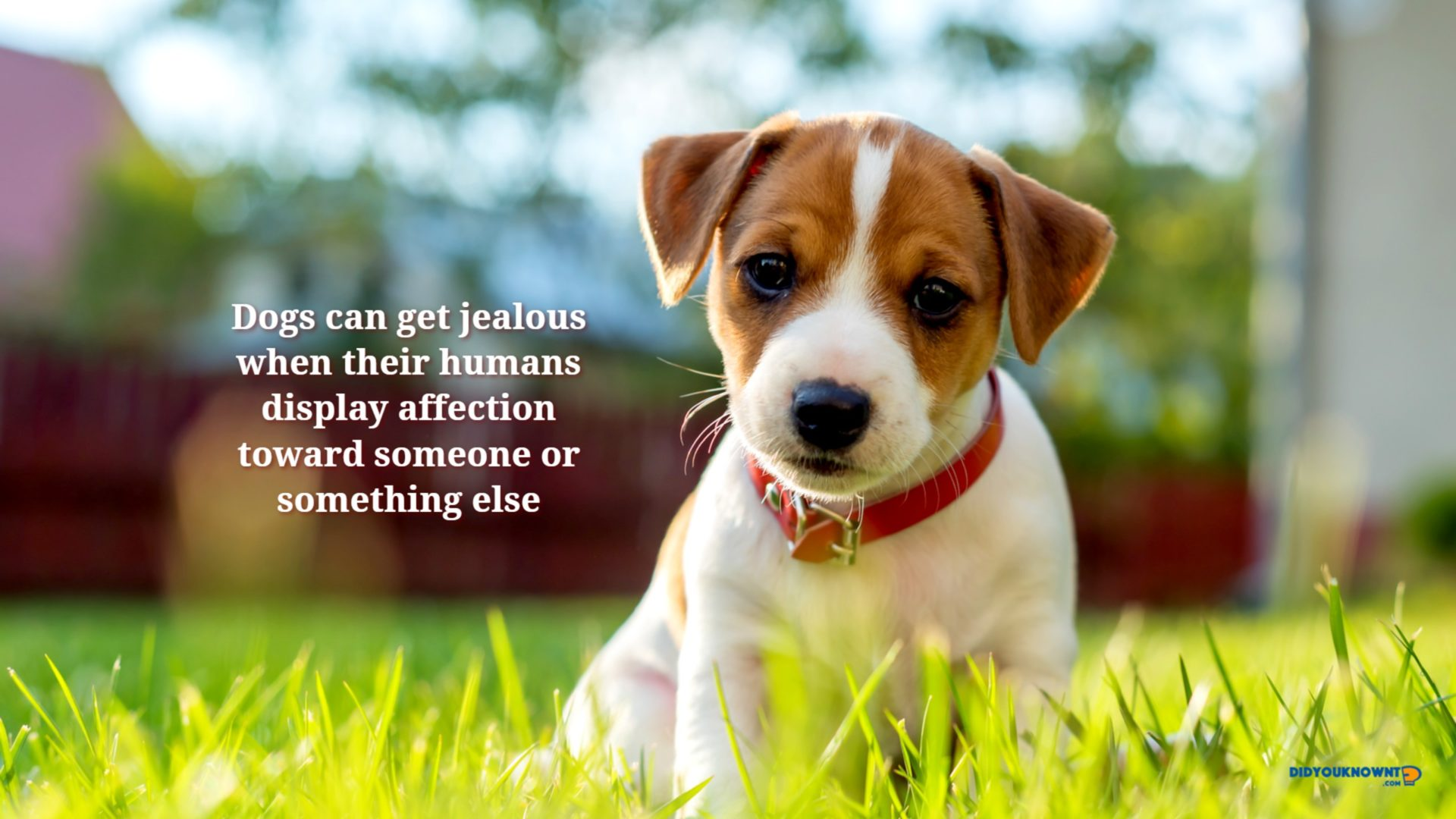 Did You Know Dogs HD Wallpaper New Tab   Did You Know 1920x1080