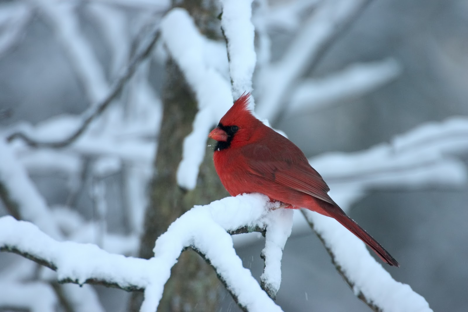 Related to Winter Cardinal Wallpaper Background 1600x1067