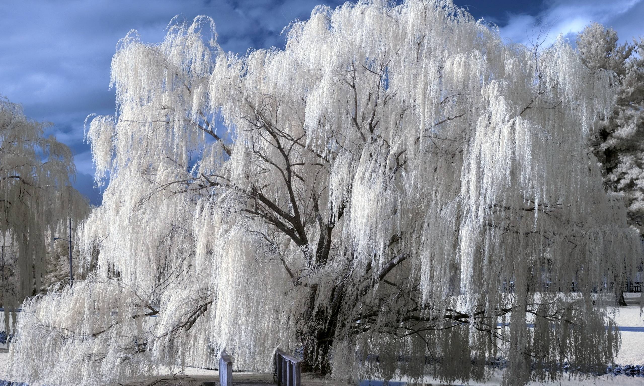 Weeping Willow Wallpapers 2560x1537