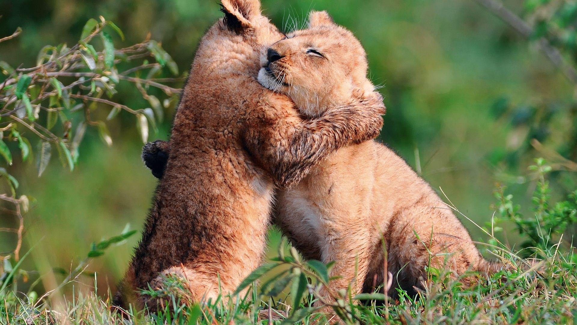 Pics Photos   Wallpaper Baby Lions Hug 1920x1080