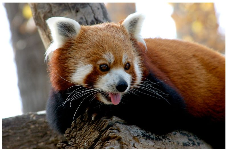 Cute Red Panda Wallpaper - WallpaperSafari | 800 x 532 jpeg 65kB