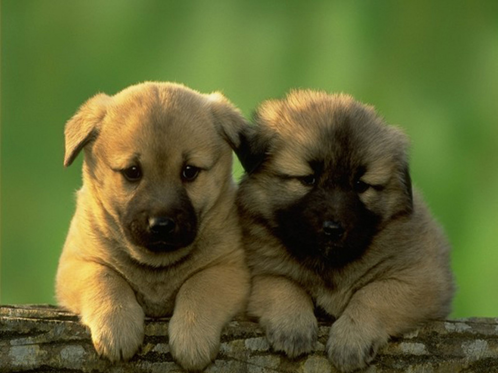 cute puppies the two desktop wallpaper download cute puppies the 1024x768