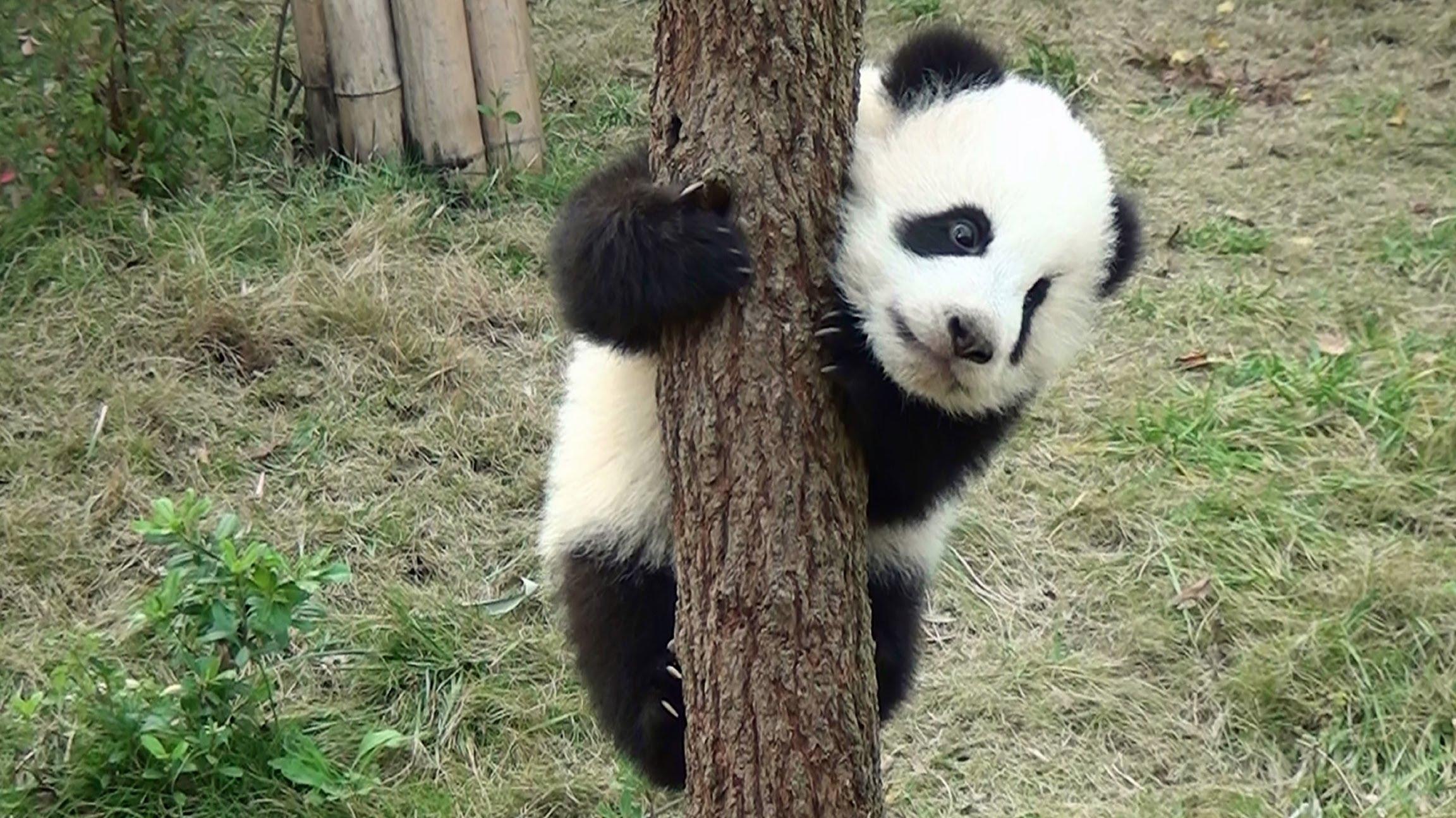 Baby Panda Wallpaper 2304x1296