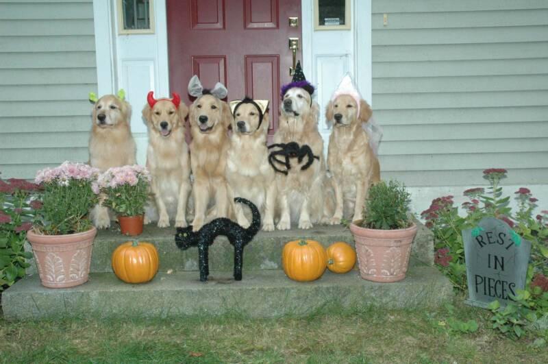 Golden Retriever dogs photo and wallpaper Beautiful Halloween Golden 800x531