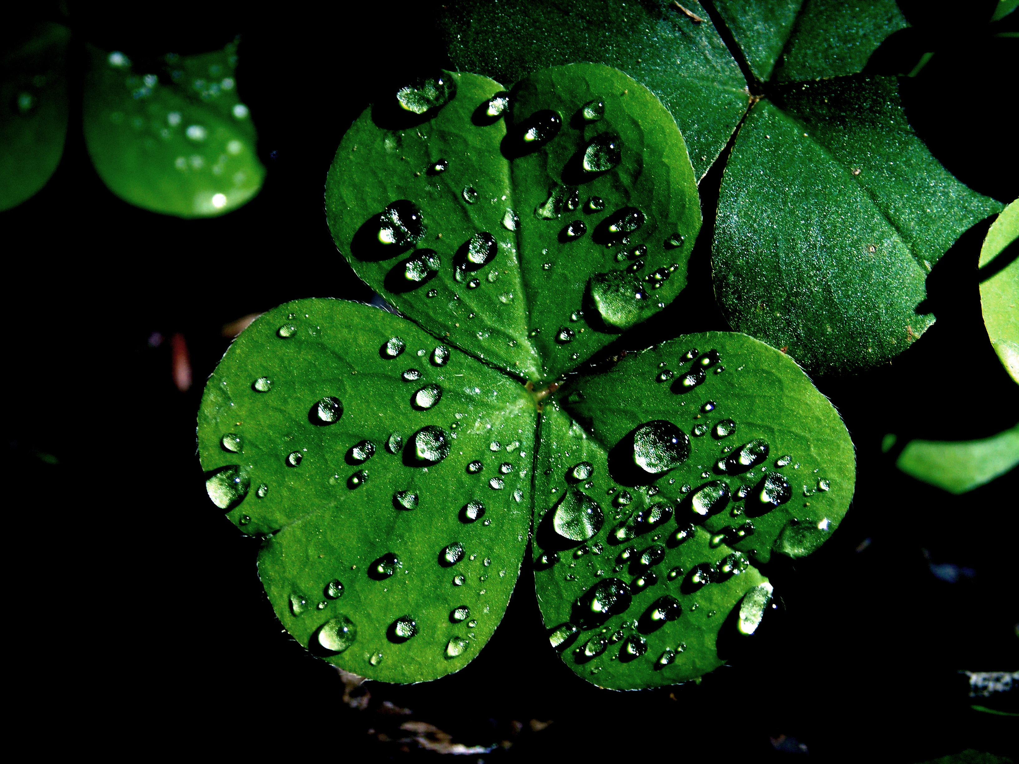 St Patricks Day Shamrocks Cool Images 3264x2448