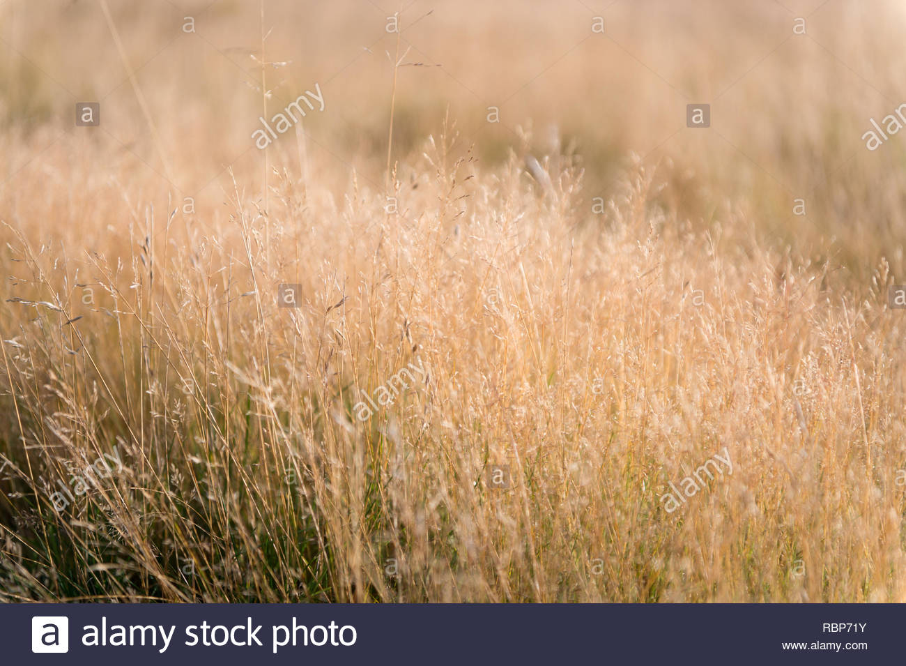 dry grass background nature ecology and harvest concept dry 1300x955