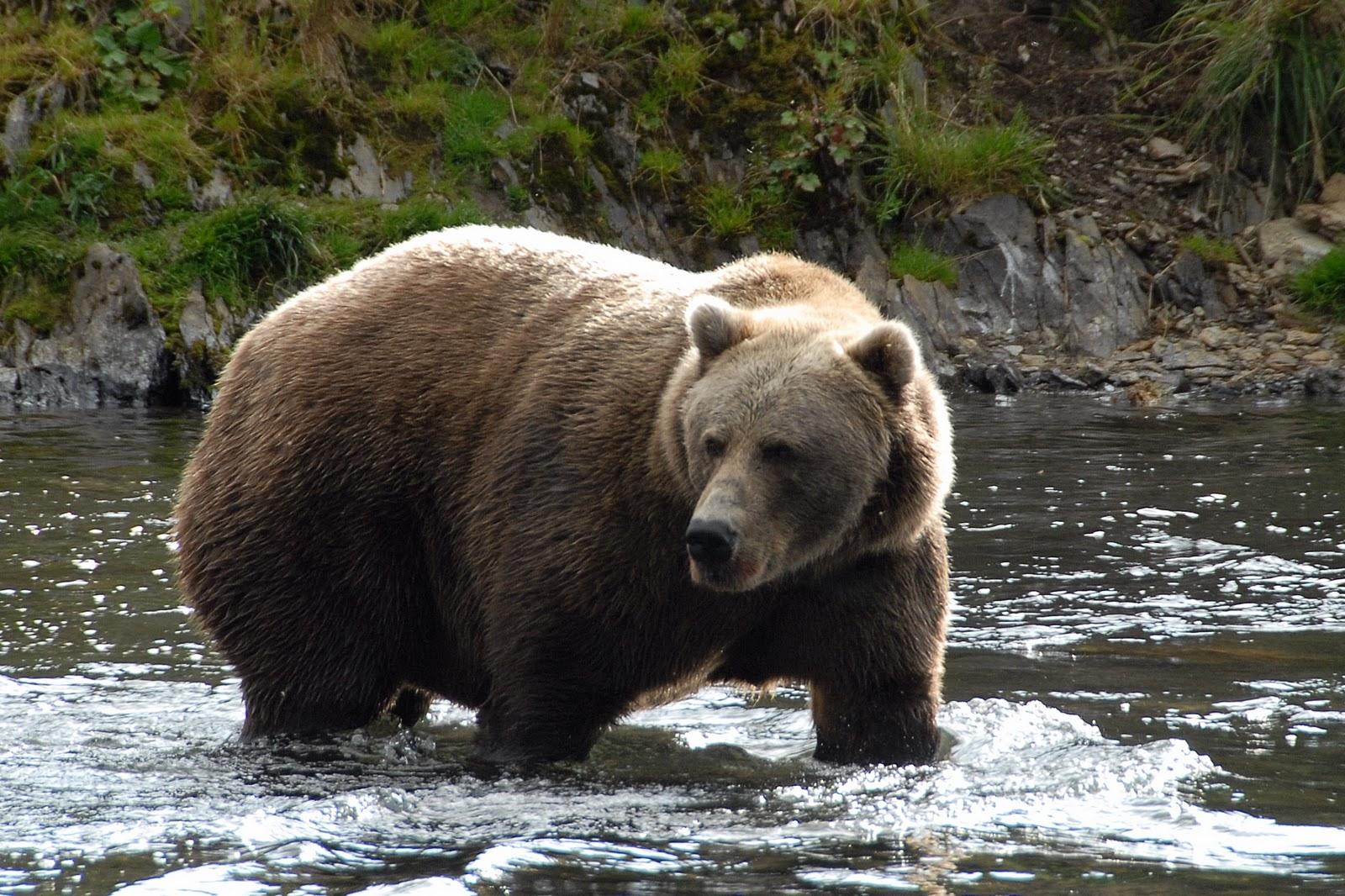 Kodiak Bear Wallpaper Wallpapersafari