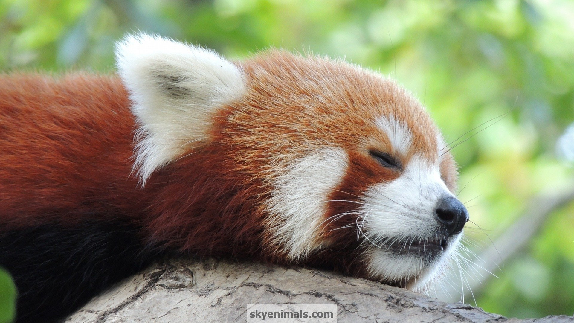 Cute Red Panda Wallpaper - WallpaperSafari | 1920 x 1080 jpeg 496kB