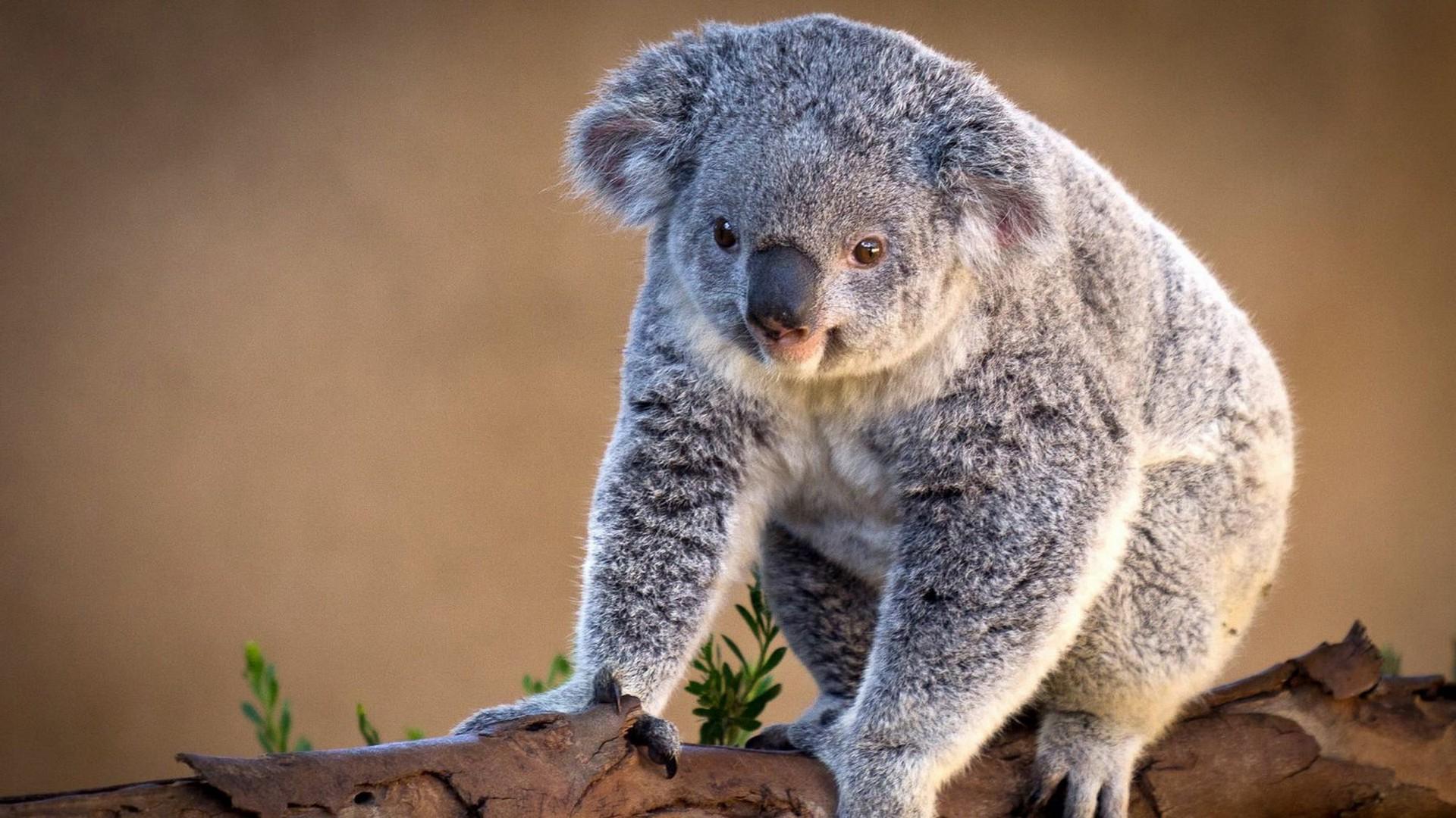 10+ Best HD Koala Wallpapers | feelgrPH