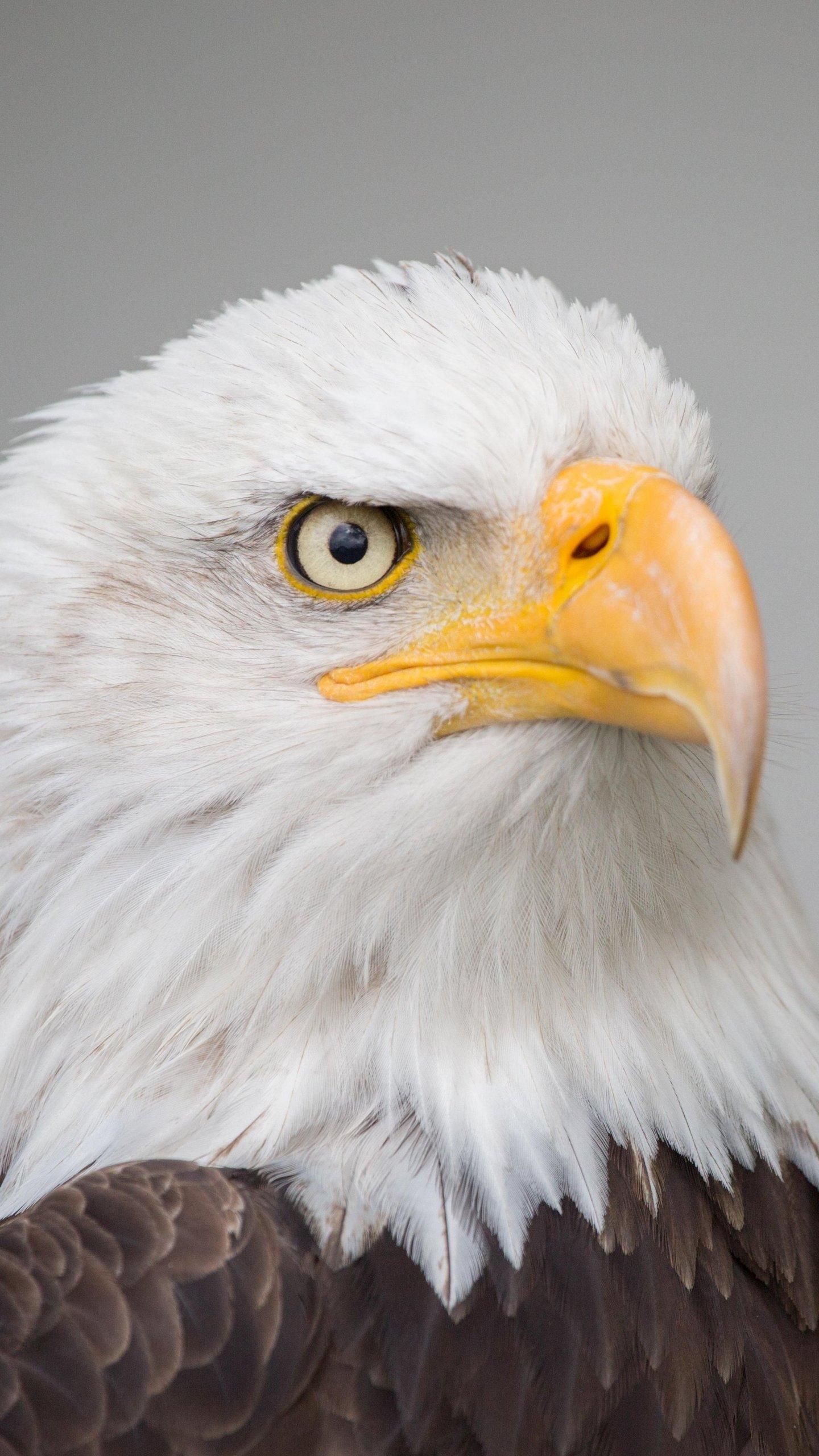 Bald Eagle Wallpaper   iPhone Android Desktop Backgrounds 1440x2560