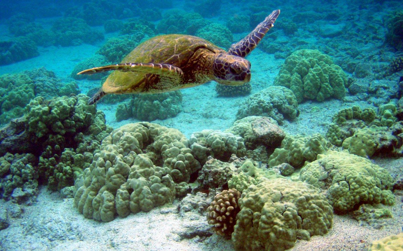 Sea Turtle Wallpaper 1440x900 WallpapersTurtle 1440x900 Wallpapers 1440x900
