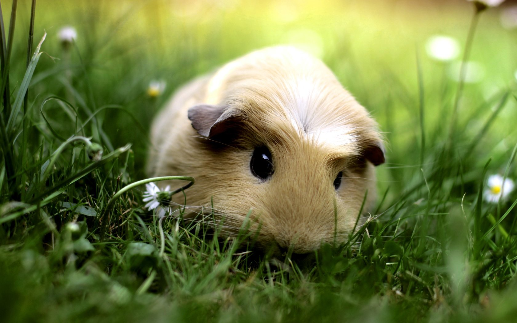 What Breed of Guinea Pig Are You? | Pig wallpaper, Animal and Cavy