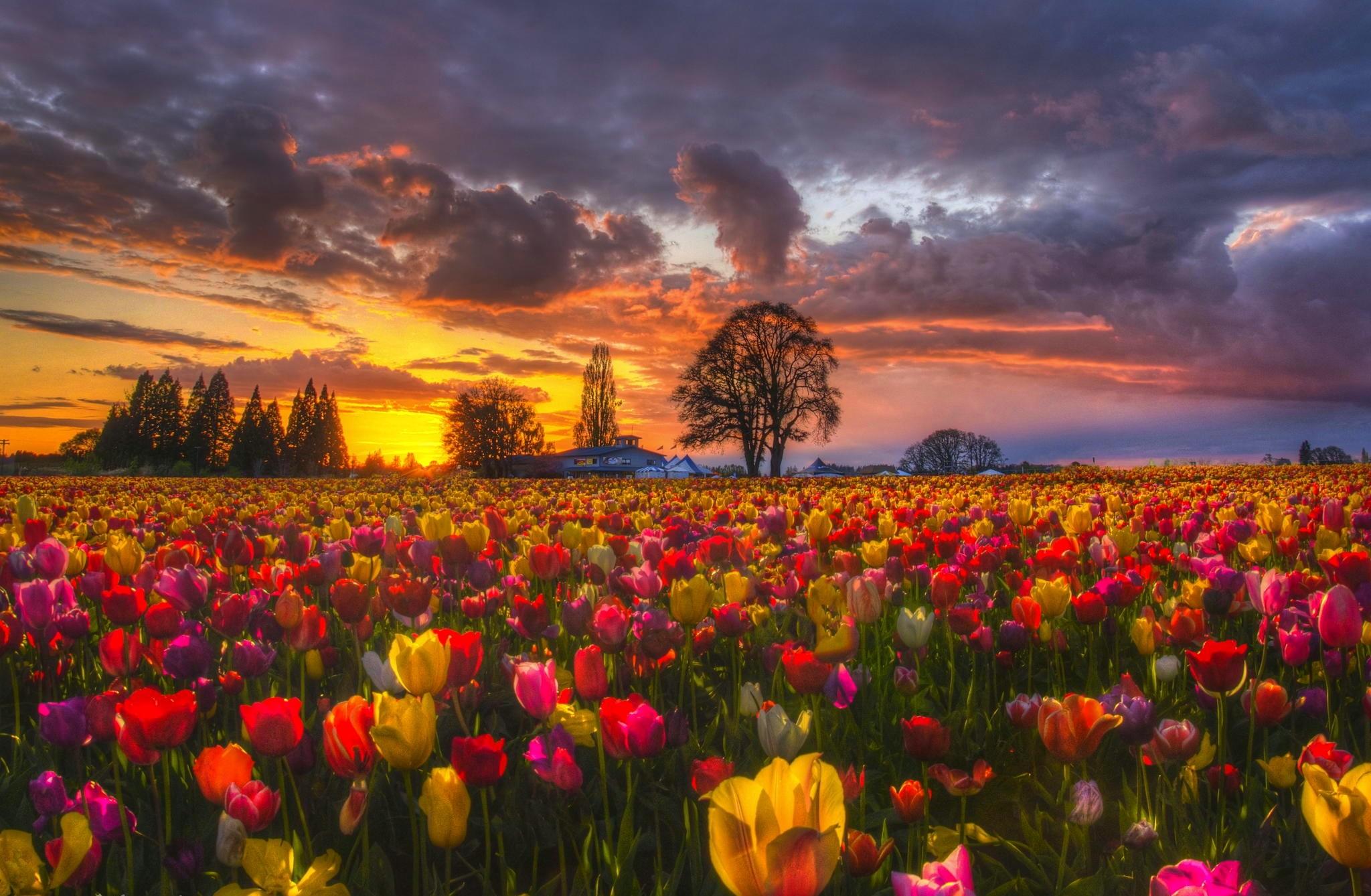 Spring Flowers Tulips Field Sunrise Grass Clouds: Desktop Nexus Lightning Wallpapers