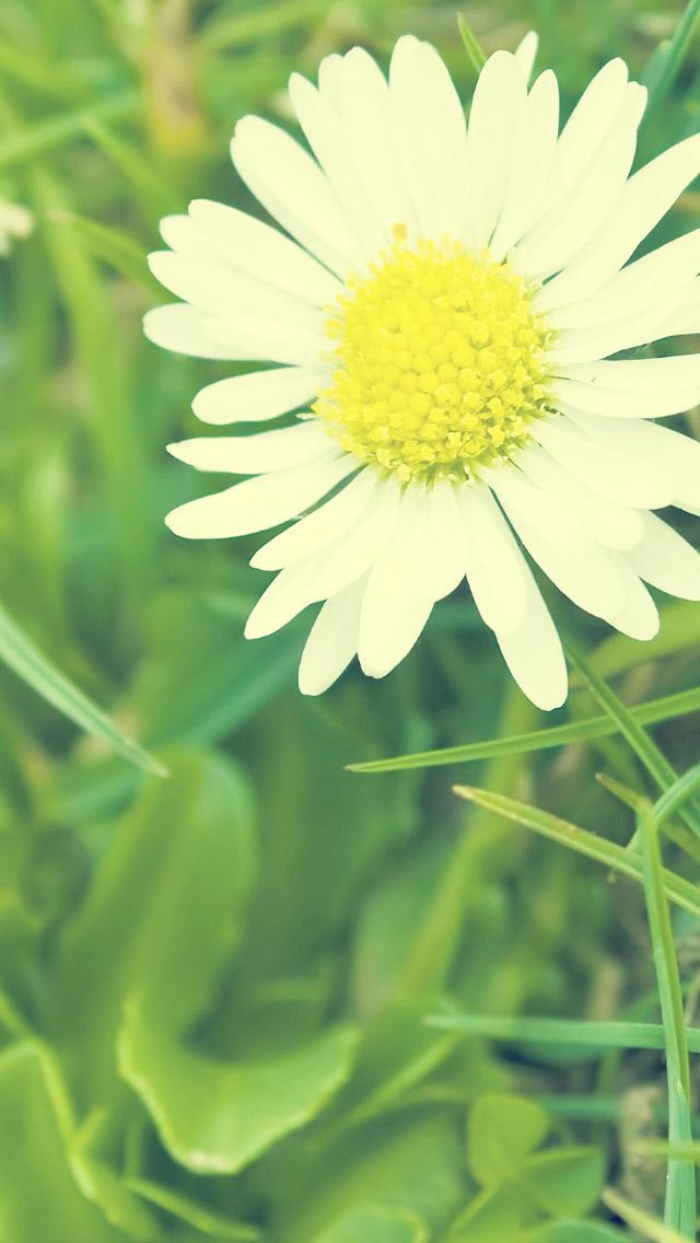 49+ Daisy iPhone Wallpaper on WallpaperSafari