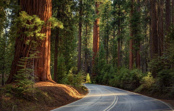 Wallpaper nature road forest pine sikuai trees wallpapers nature 596x380
