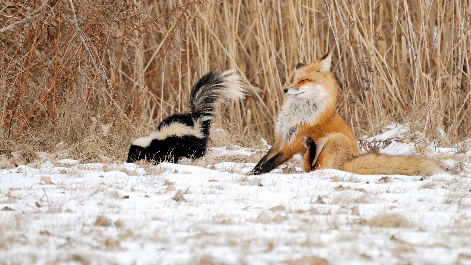 Free Download Funny Image Of Skunk Beside Reeds On Winter Hd 1080p