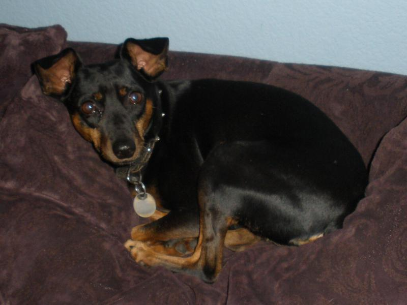 Miniature Pinscher Wallpaper 800x600