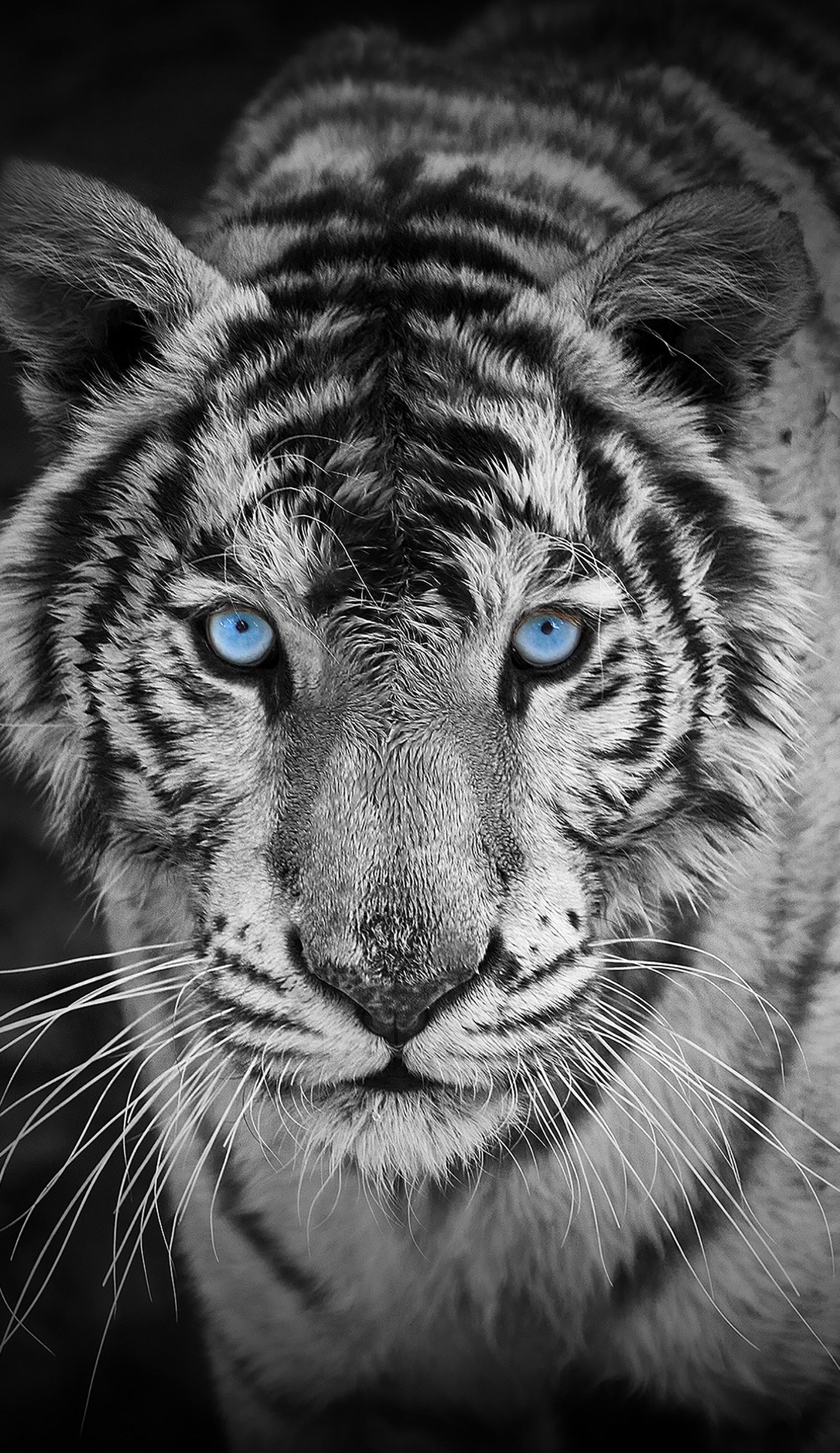 Awesome Looking Tiger Those Blue Eyes are Simply Beautiful Pet 1500x2592