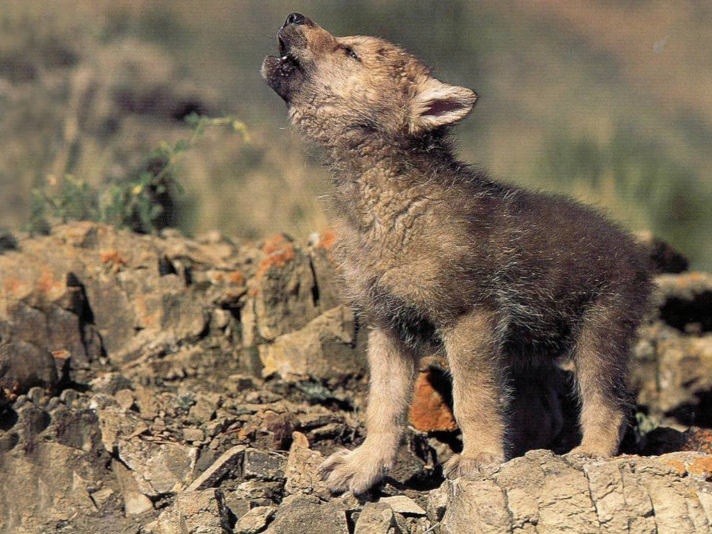 Image result for wolves cub