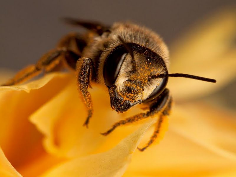 yeast honey bee Wallpaper Walltor 800x600