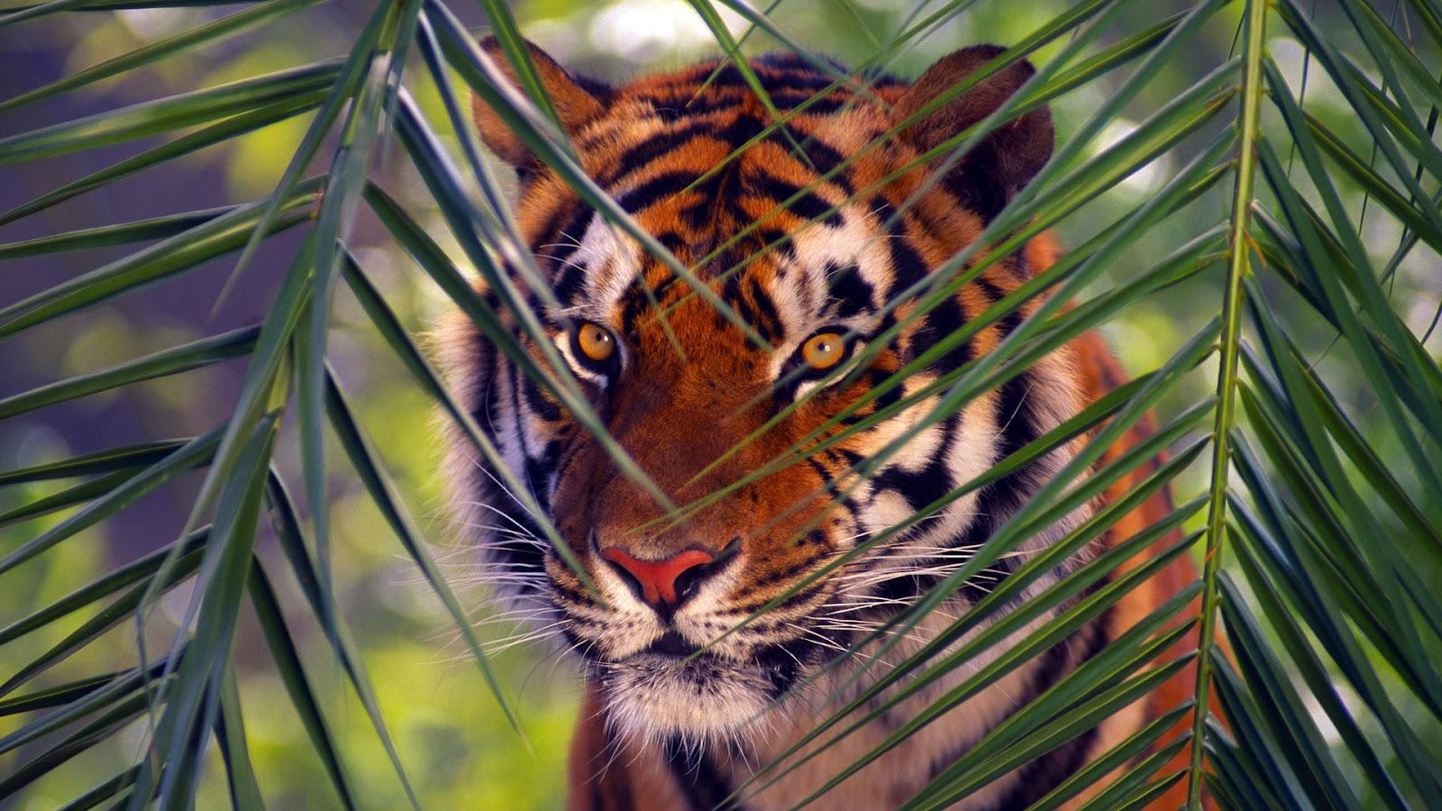 Cute tiger wallpaper Wallpaper Wide HD 1600x900