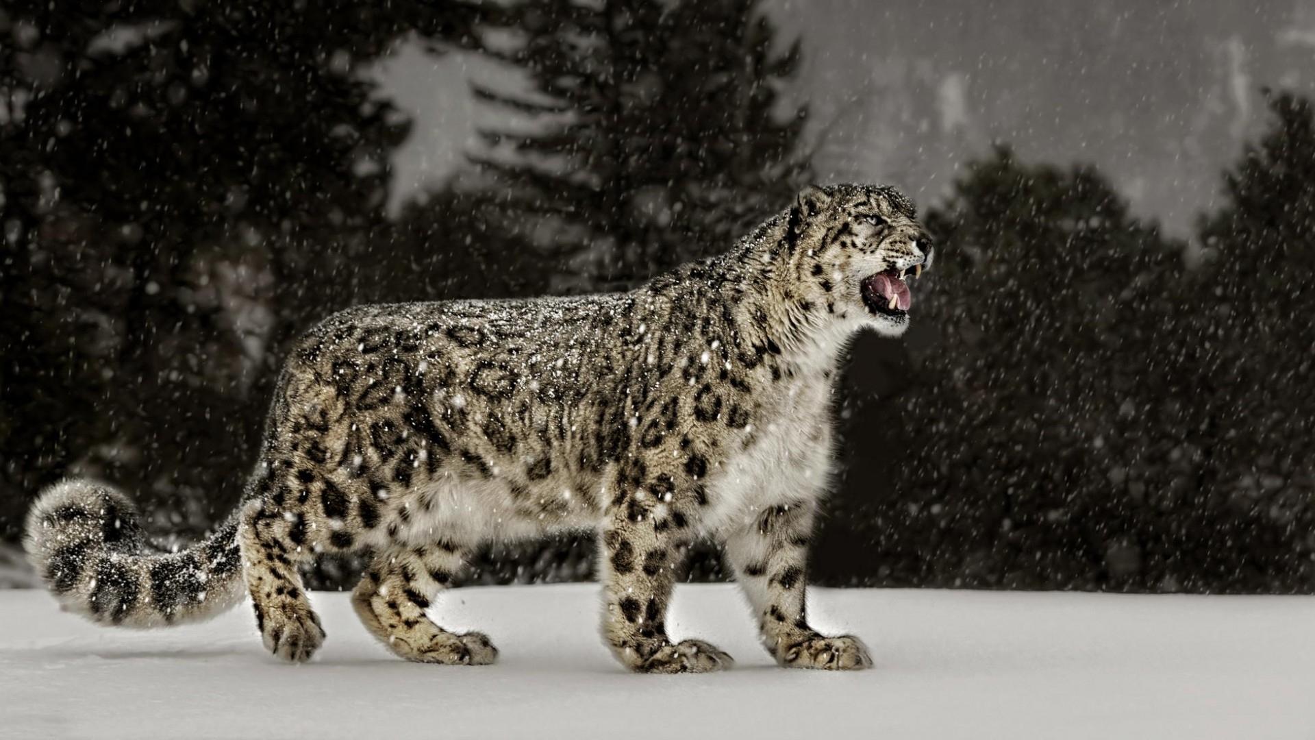 snow leopard wallpapers wallpapersafari