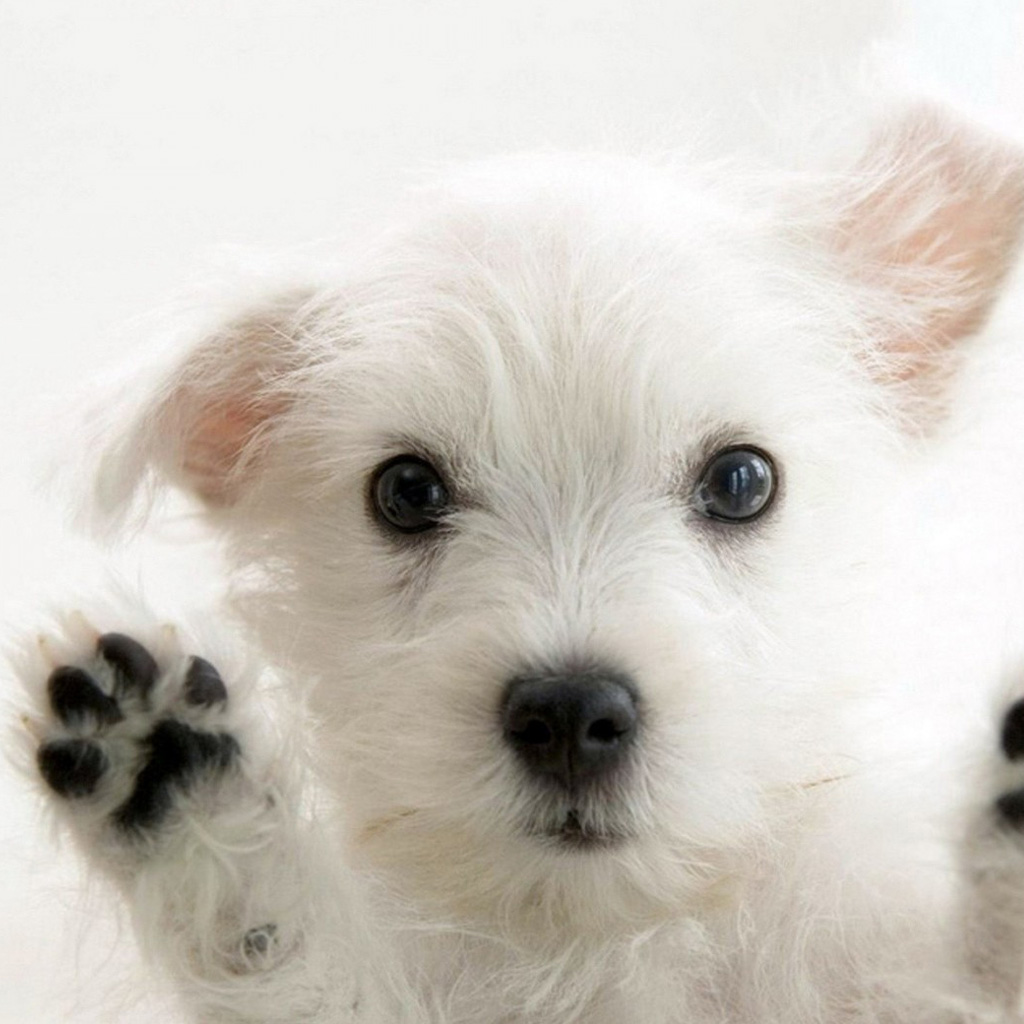 Wallpapers Cute puppy   Animal iPad iPad 2 iPad mini Wallpapers HD 1024x1024