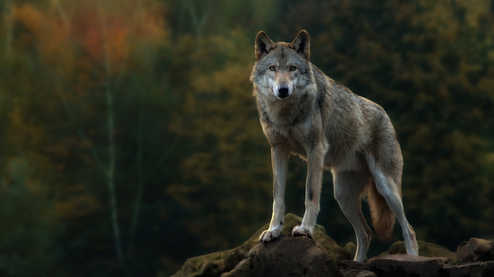 Gray Wolf Computer Wallpapers Desktop Backgrounds 1920x1080