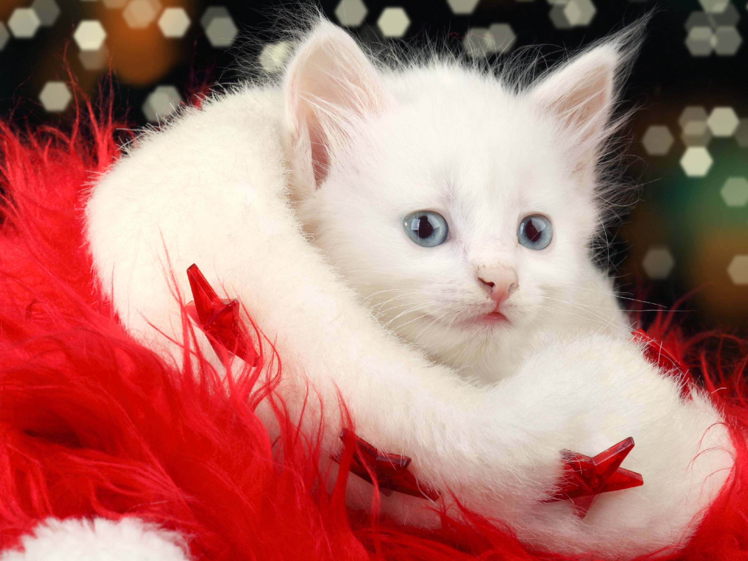 Free Download Christmas Cat Wallpapers 2560x1920 For Your Desktop Mobile Tablet Explore 71 Christmas Kitten Wallpaper Christmas Cat Wallpaper Cat Pictures For Wallpaper Kitten Wallpapers Free Download
