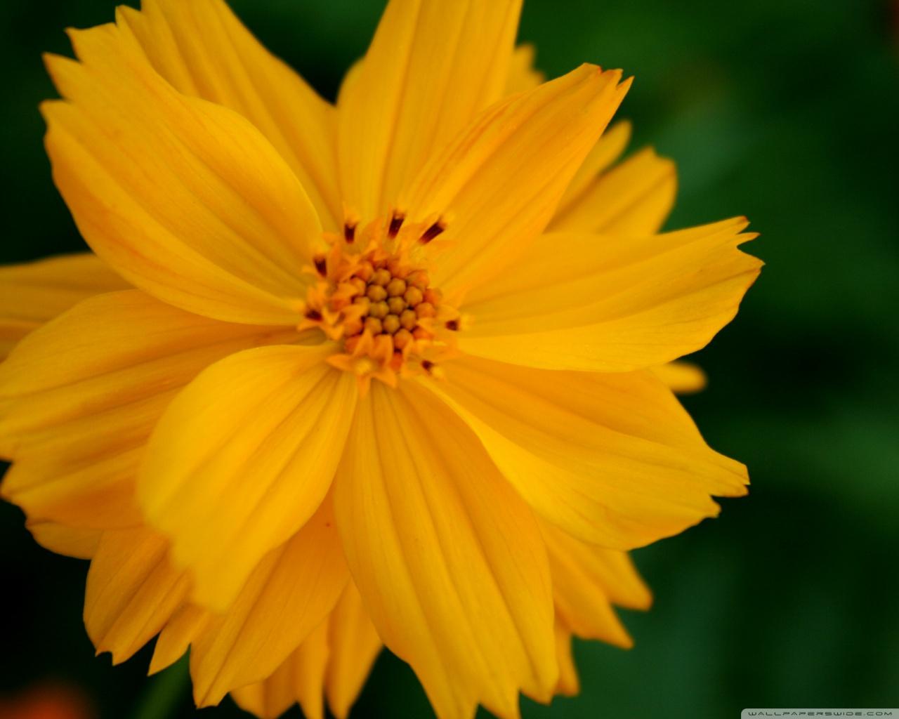 Sulfur Cosmos Flower 4K HD Desktop Wallpaper for 4K Ultra HD TV 1280x1024
