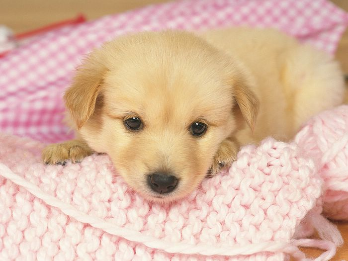 Cute Golden Retriever Puppies Picturescercueilscarton 700x525