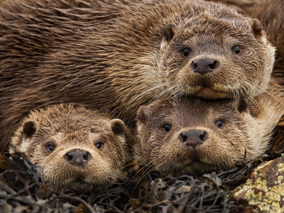 National Geographic Wallpaper   River Otters Shetland Islands 990x742