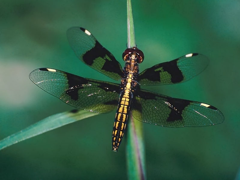 New Dragonfly Desktop Wallpaper   Nature Wallpaper 800x600