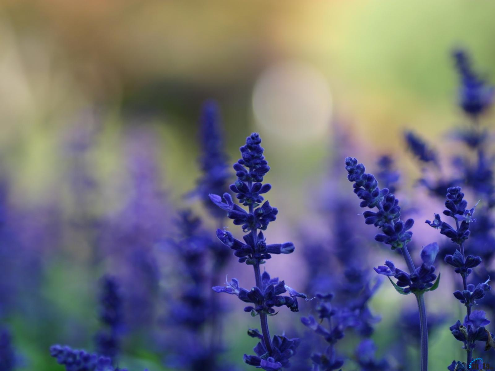 Download Wallpaper Lavender flowers 1600 x 1200 Desktop wallpapers 1600x1200