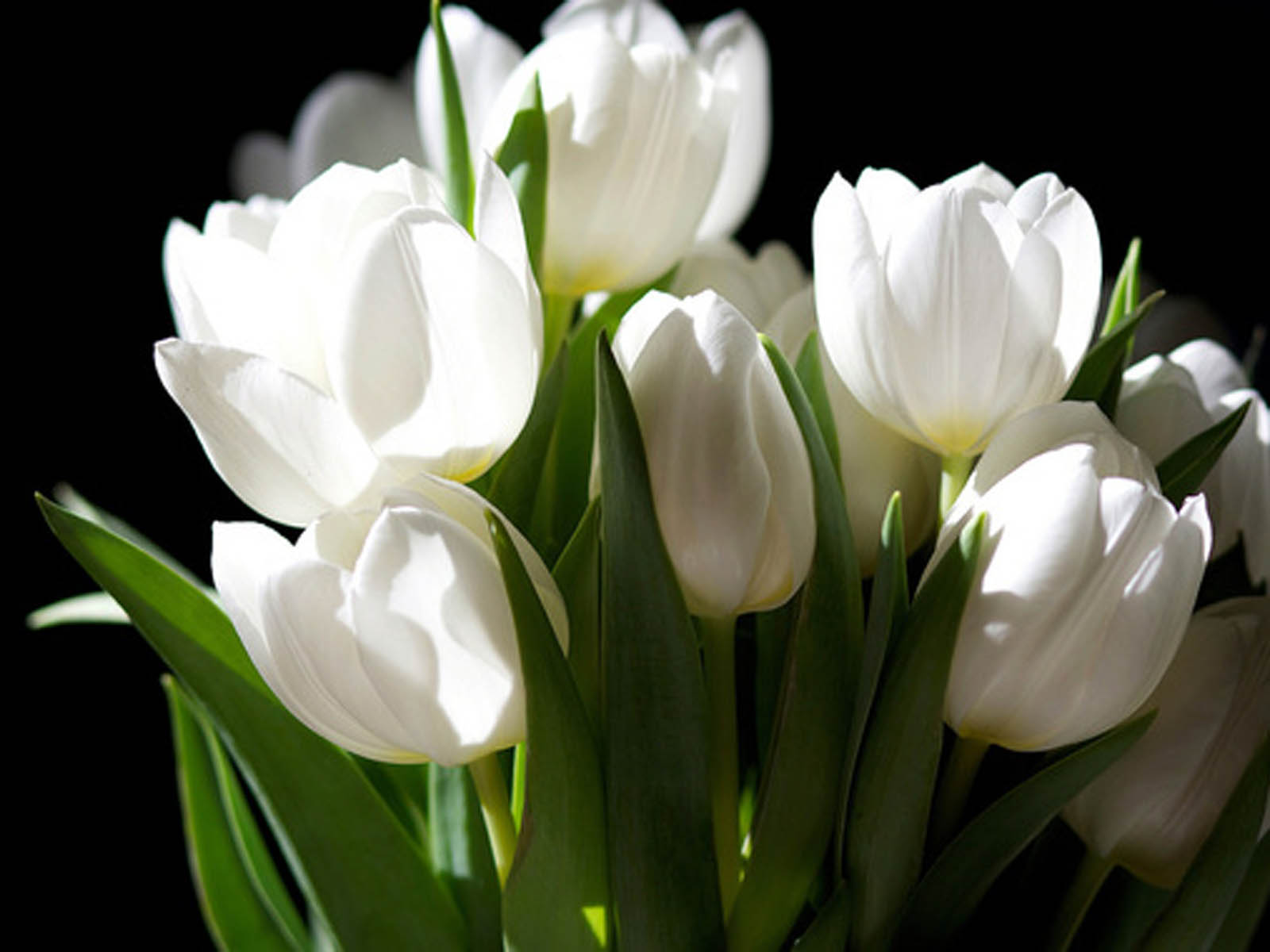 White tulips wallpaper wallpapersafari tulip flowers free high resolution beautiful tulip flowers wallpapers dhlflorist Image collections