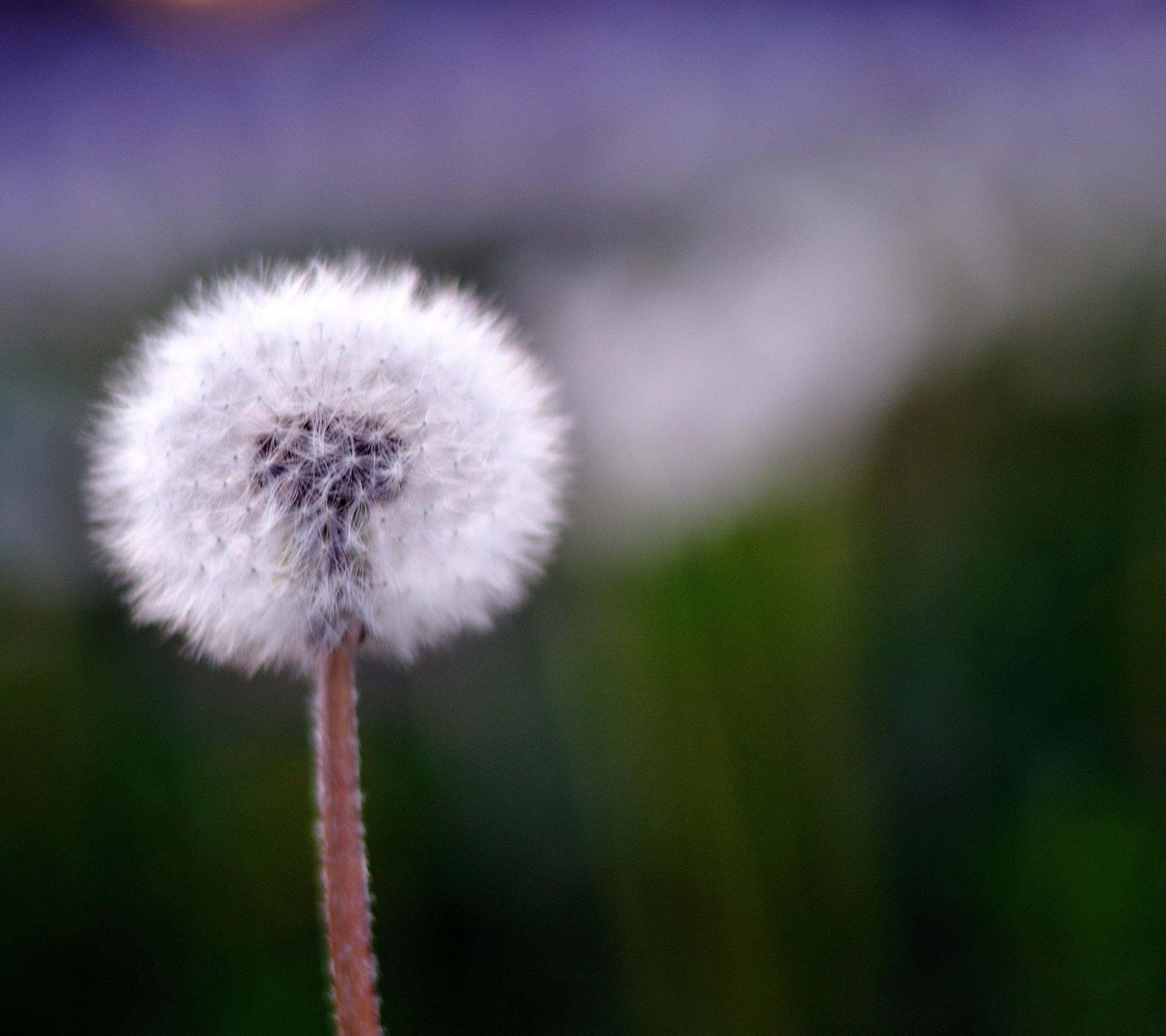 samsung galaxy s4 wallpapers-spring-dandelion.jpg