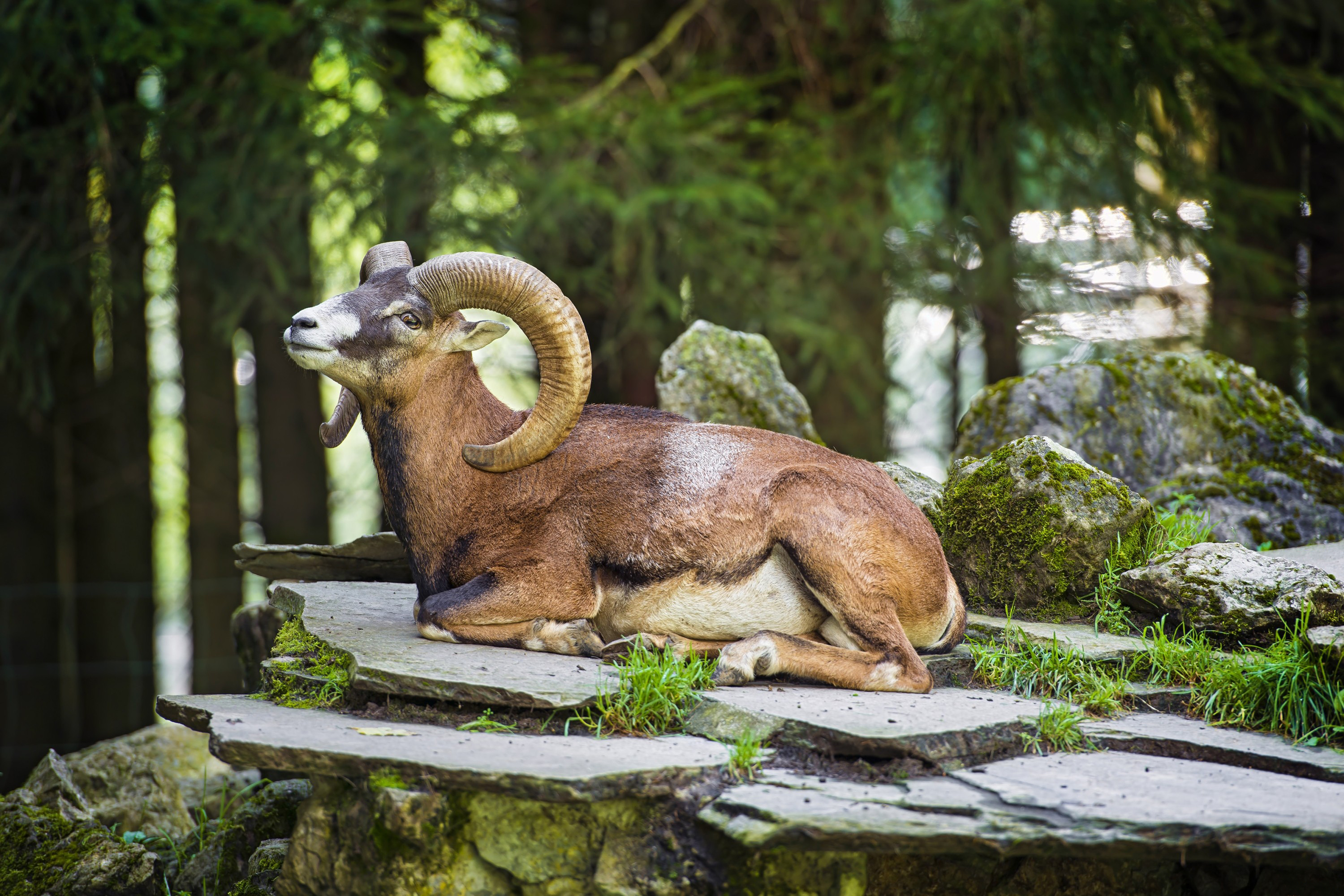 Big Horn Sheep HD Wallpaper Background Image 3000x2000 ID 3000x2000