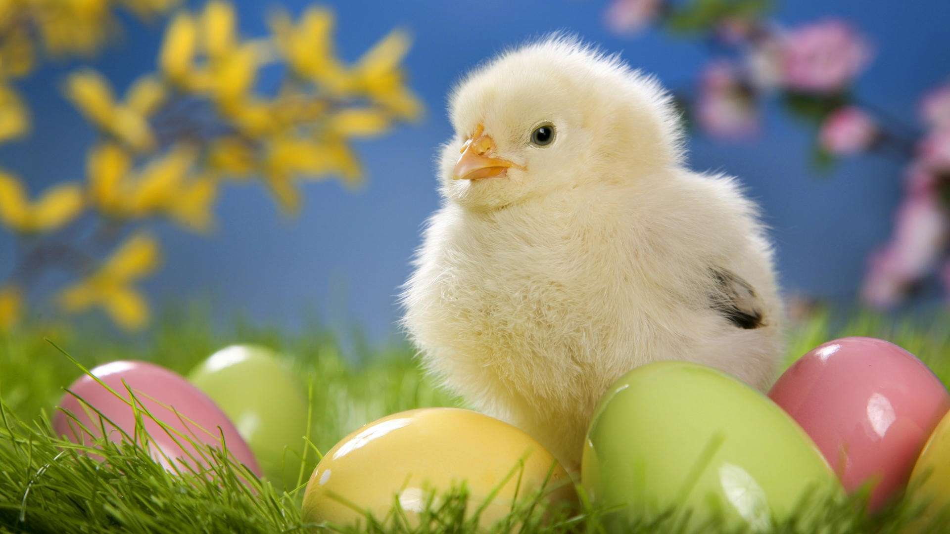 Cute Easter Chick with Eggs HD Wallpaper 187 FullHDWpp 1920x1080