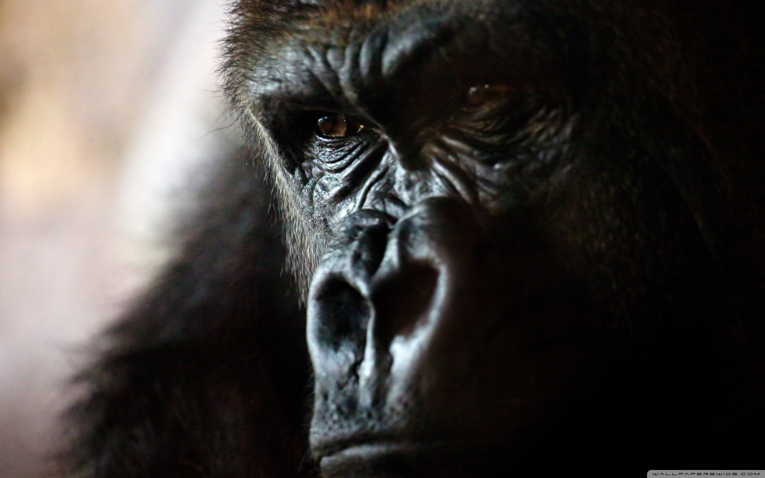 Angry gorilla wallpapers and images   wallpapers pictures photos 2560x1600